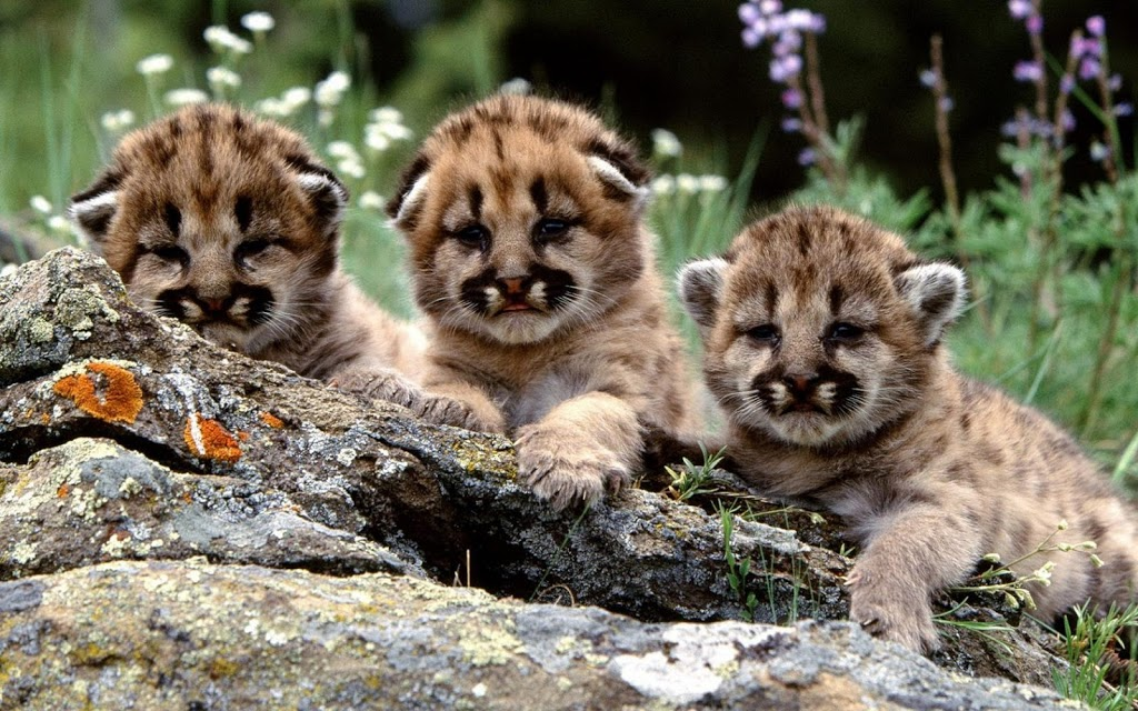 Three cute tiger cubs wattafukk three cute tiger cubs thecheapjerseys Image collections